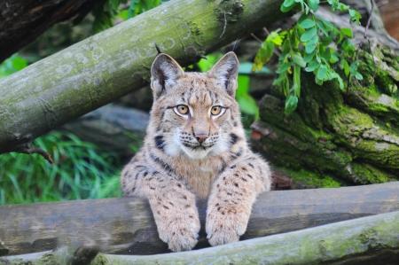 catlike: Eurasian lynx Stock Photo