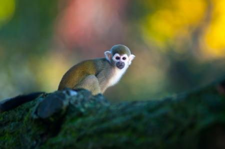 sciureus: Squirrel Monkey - Saimiri sciureus