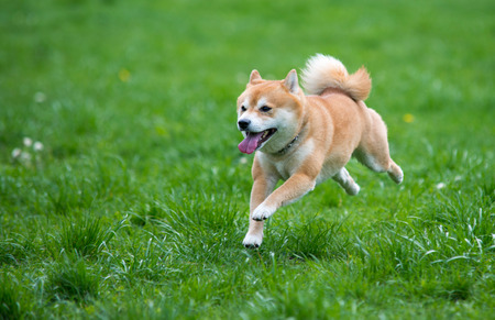 草の上犬柴犬をジャンプ