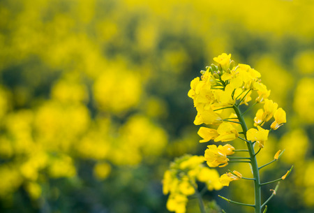 napus: Flower of the rape