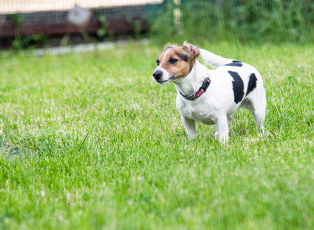 Jack Russell terrier on grass photo