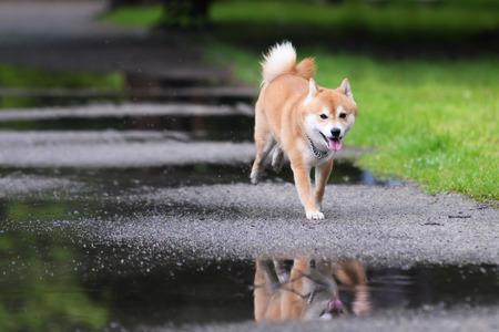 ジャンプ犬柴犬