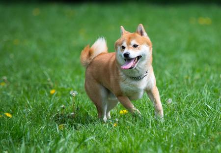 shiba inu dog on grass Standard-Bild