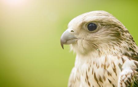 buzzard: hawk on green background