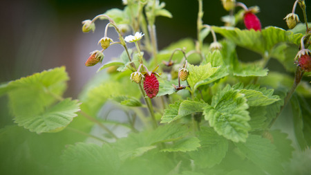 'wild strawberry: red and unripe wild strawberry on bush