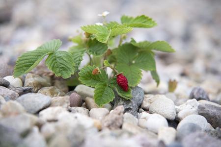 glades: red and unripe wild strawberry on bush