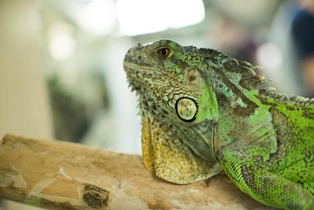 parietal: Green Iguana on branch Stock Photo