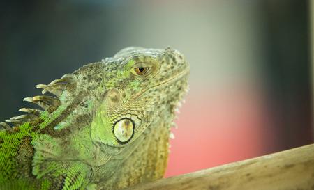 reptilia: Green Iguana on branch Stock Photo