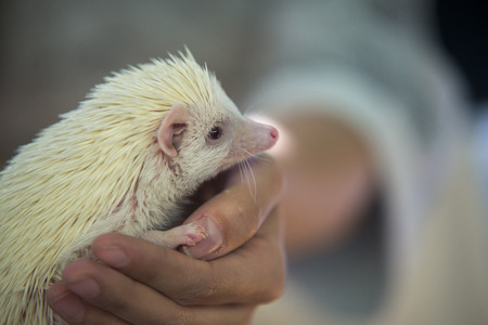 front raise: hedgehog on human hands Stock Photo