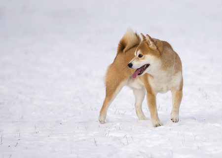 shiba inu dog on snow