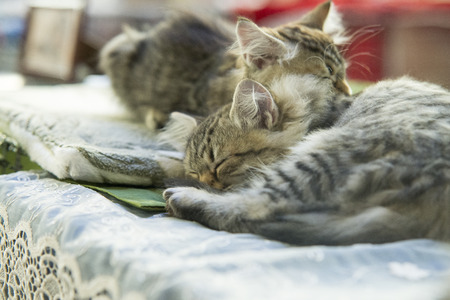 baby  pussy: two small kitty Maine coon sleeping in bed Stock Photo