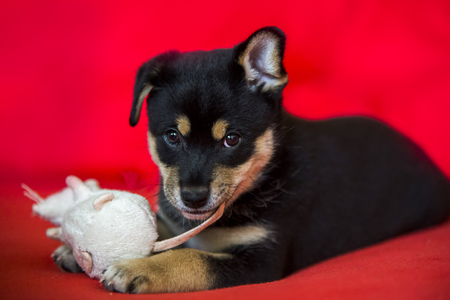 red bed: cute puppy on red bed with toy
