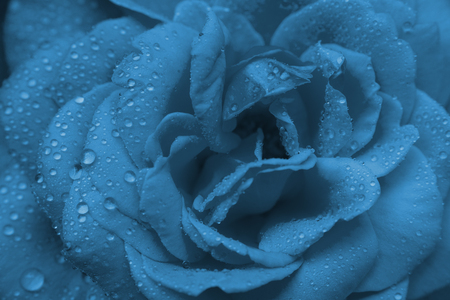 close-up beautiul blue rose with water drops Stock Photo