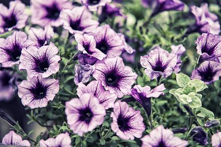 violets: violets flowers
