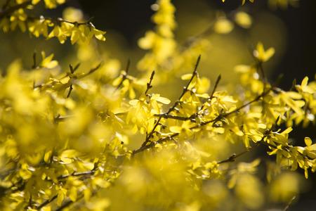 yellow blossom: Spring yellow blossom