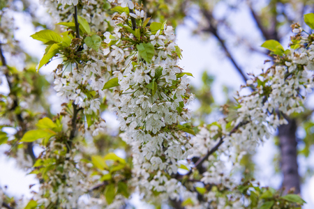 nivalis: Close up on blossom Pyrus Nivalis ( Pear Tree)