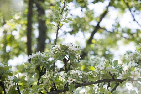 pyrus: Close up on blossom Pyrus Nivalis ( Pear Tree)