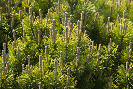 mugo: Branches of a dwarf mountain pine (Pinus mugo) Stock Photo