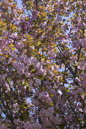 prunus: Wild Himalayan Cherry ( Prunus cerasoides ) Stock Photo