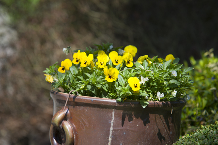 violas: Violas growing in spring garden decoration Stock Photo