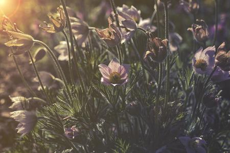 pulsatilla: close up on Pulsatilla Vulgaris sunset or sunrise