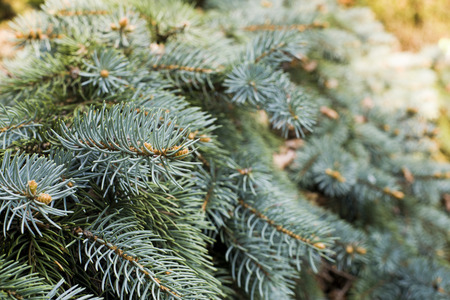 picea: Hanging branches of Picea punges