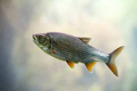 freshwater aquarium plants: Freshwater fish Common Roach Stock Photo