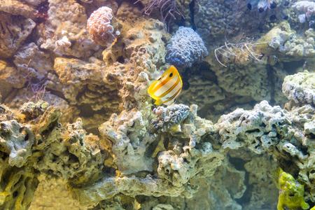 chaetodontidae: Copperband butterflyfish (Chelmon rostratus)