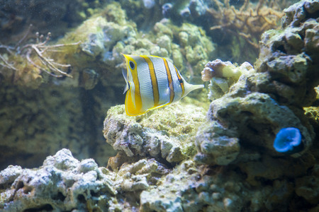 copperband butterflyfish: Copperband butterflyfish (Chelmon rostratus)