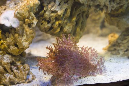 scorpionfish: close up on Weedy scorpionfish (Rhinopias frondosa) Stock Photo