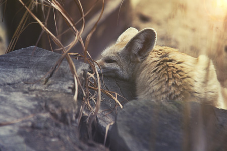wildness: close up on Fennec Fox (Vulpes zerda)