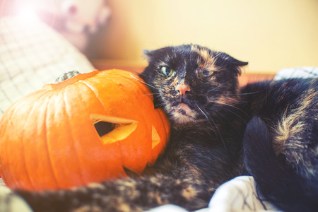 agression: cat holda halloween pumpkin with agressive face