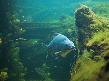 Clsoe arriba en Cyprinus carpio en el agua dulce Foto de archivo - 64560564