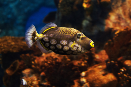 balistoides: Close-up view of a Clown triggerfish (Balistoides conspicillum), soft focus