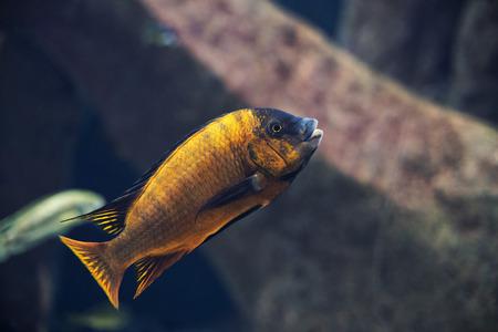 close up on Iodotropheus sprengerae fish