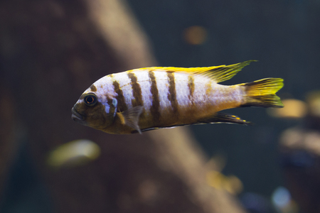close up on Malawi cichlids. soft focus Stock Photo