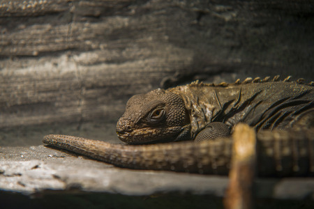 close up on  Black Iguana ( Ctenosaura similis) Stock Photo