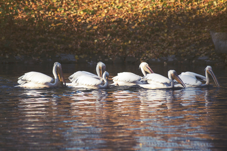 White Pelican (Pelecanus onocrotalus) in the water Stock Photo