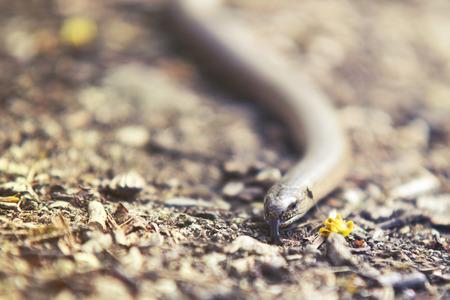 close up on Natrix snake on forest bckground Stock Photo