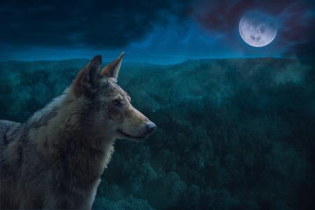Gray Alpha Wolf durante la noche de luna llena en el desierto.