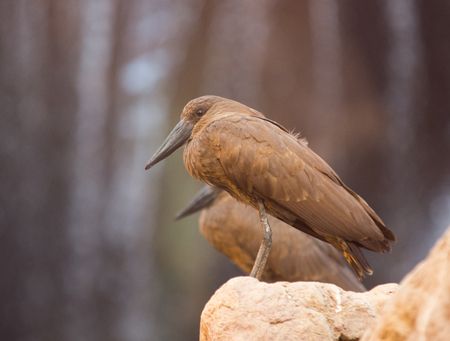 Close up on Hamerkop (Scopus umbertta) on the rock Stock Photo
