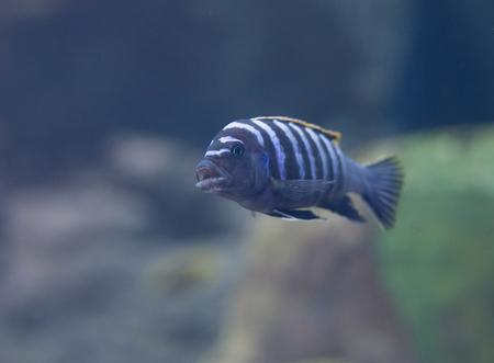 cichlid: fish from  Tanganika and Malawi lake