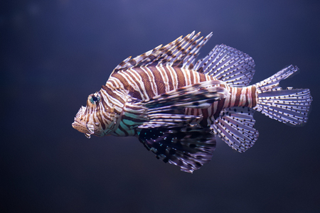 close up o lionfish, pterois volitans Stock Photo