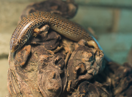 Close up on Chalcides ocellatus (Eyed Skink)