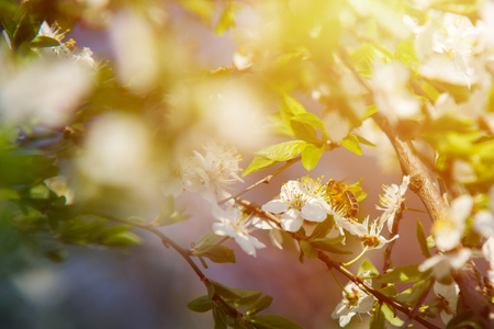 close up on Honey Bee on the tree flower, sunlight