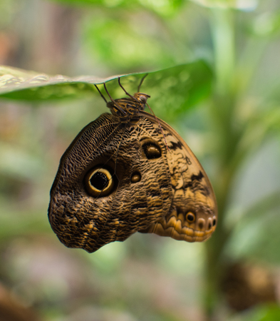 close up on Owl Butterfly (Caligo Memnon)