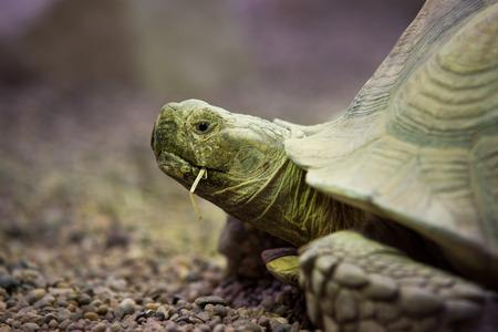 close up on Giant tortoise (Megalochelys gigantea).