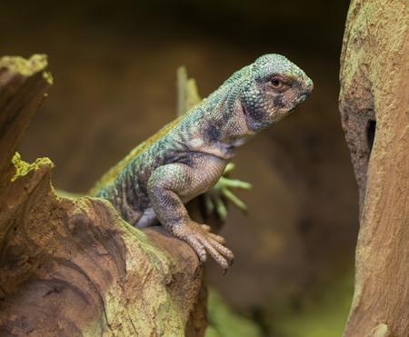 close up on Omani spiny tailed lizard uromastyx thomasi Stock fotó