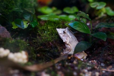 Solomon Island Leaf Frog ceratobatrachus guentheri