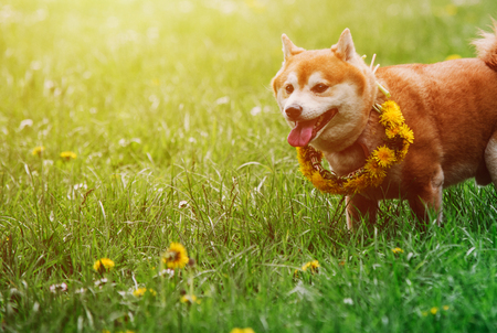 Japanease dog shiba inu running on the grass with flower wreath Stock Photo